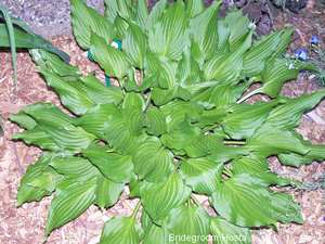 bridegroom-hosta-300