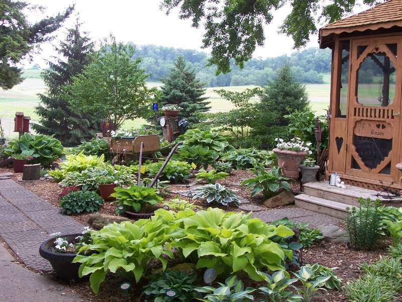 Dividing Transplanting And Moving Overgrown Hostas Favorite