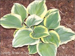 liberty-hosta-june-400
