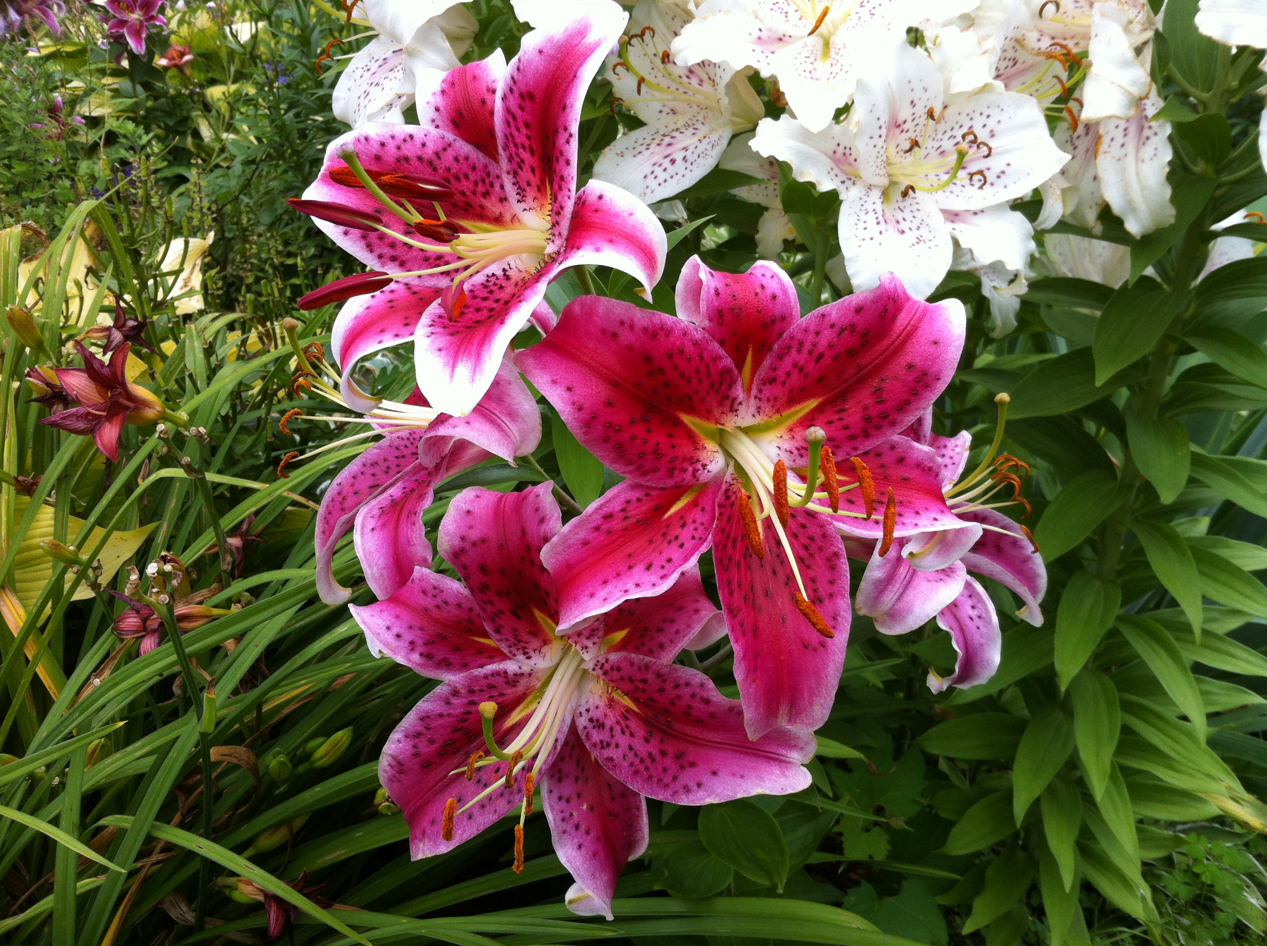 The Wonderful Hardy Lilies
