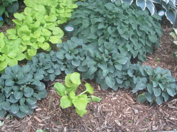 Blue Mouse Ears Hosta used as a perennial bed border