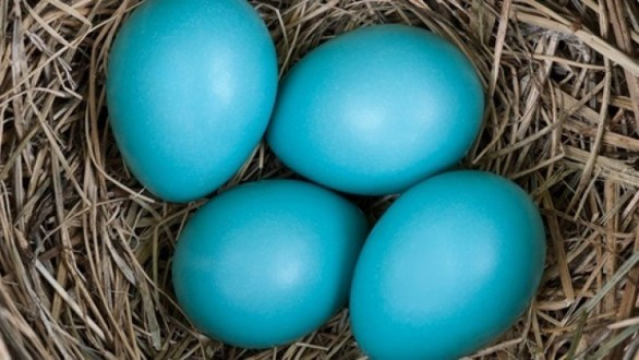 mavi yumurta 1 728x410 Mavi Yumurta Nasıl Üretilir, Faydaları ve Fiyatı Nelerdir?