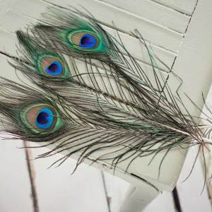 Stunning Peacock Feathers