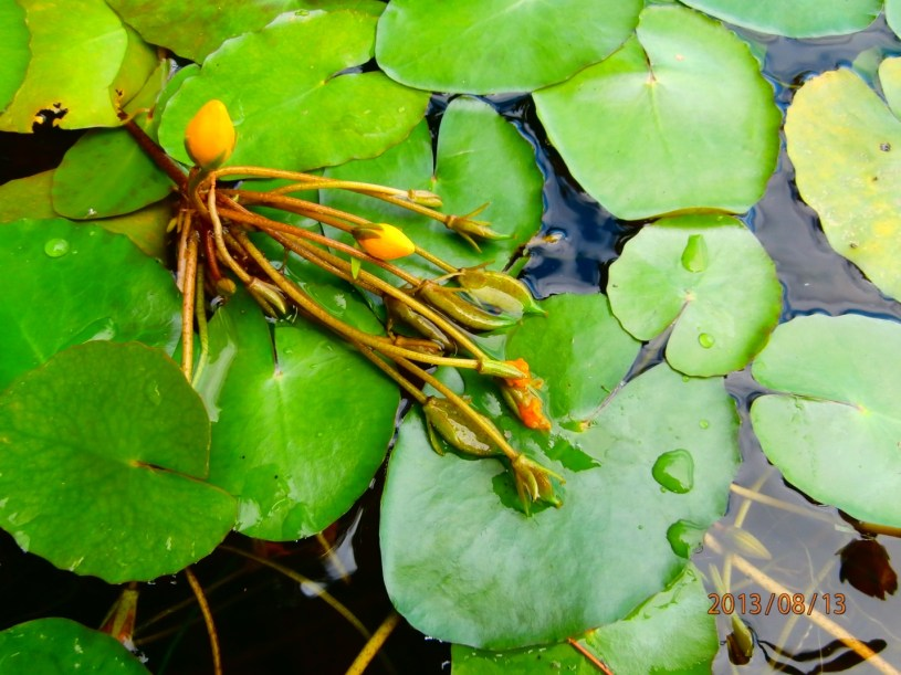 Yellow Floating Heart (Nymphoides peltata)