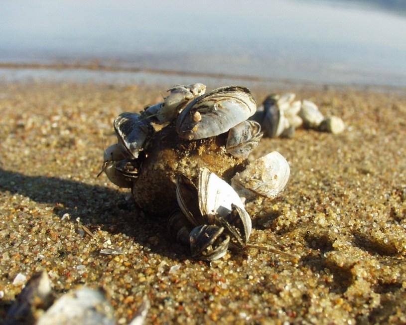 Zebra Mussels (Dreissena polymorpha)