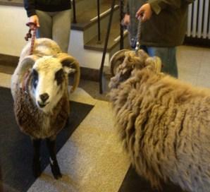 2013 Sheep got loose CROPPED