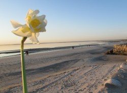 10-Daffodil after sunrise service