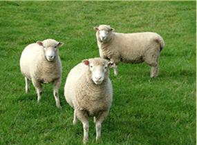 Sheep on Surrey farm