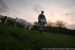 Feeding ewes on Barracks Farm