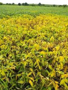 damaged-soya-crops