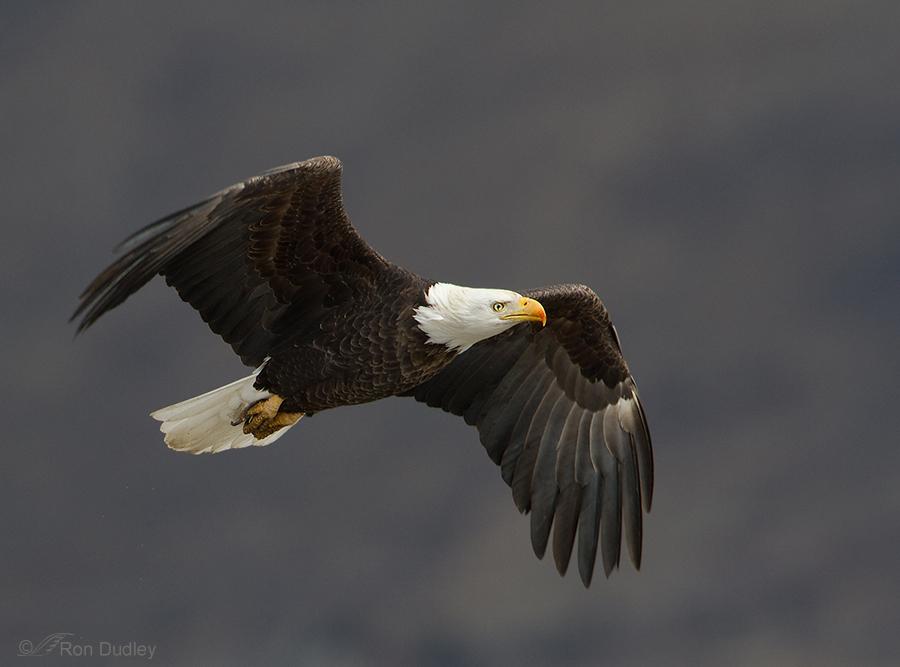 bald-eagle-3875 ron dudley