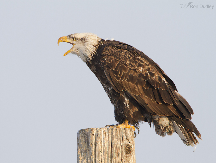 bald eagle 8499 ron dudley