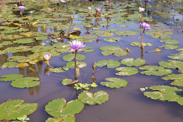 Chedi Lotus