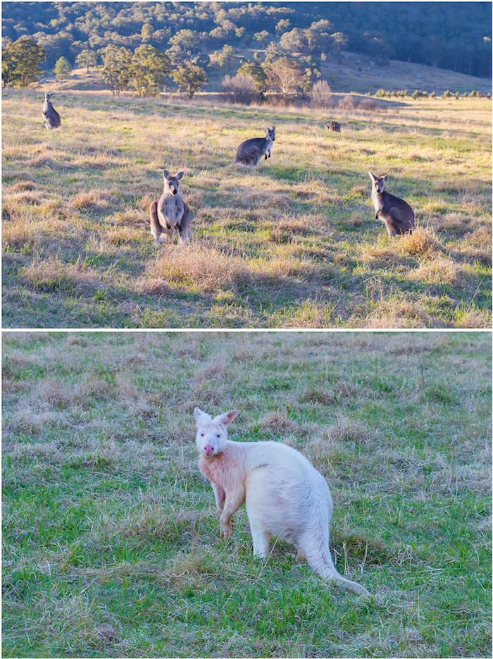 Wolgan Valley Albino Kangaroo