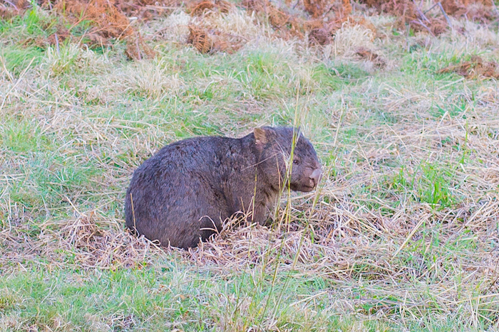 Wolgan Valley Wombat