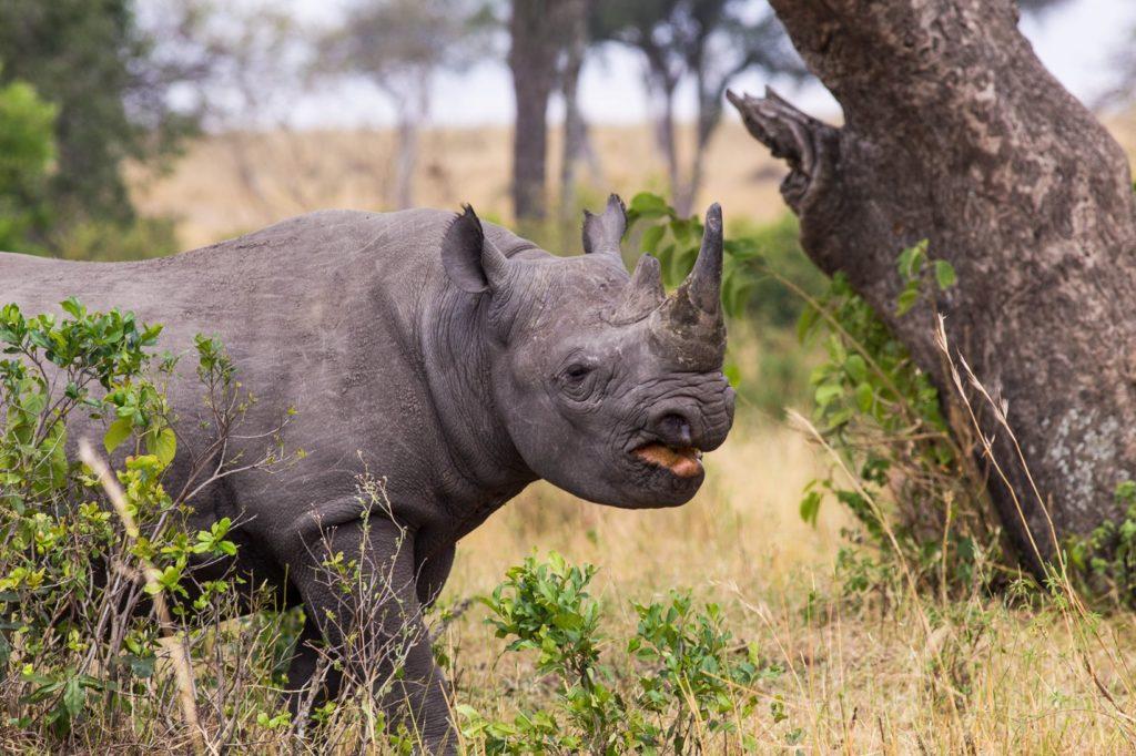 Rhino Sighting at Masai Mara, Kenya