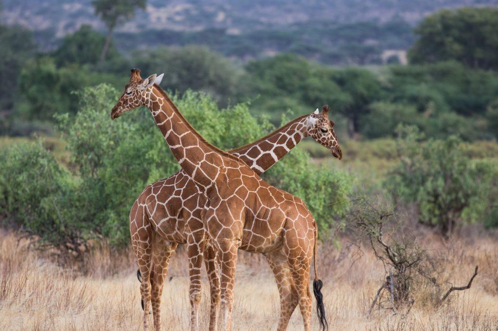 Reticulated Giraffe, Samburu Kenya.