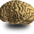 El cerebro humano clave en el neuromarketing