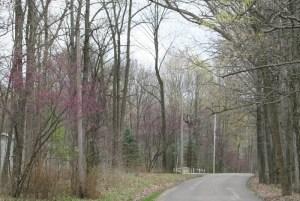 redbud trees on Rocky Hill Rd