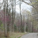 redbud trees on Rocky Hill Rd