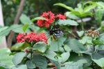 Butterfly eating from red flowers