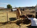 Goats and an alpaca