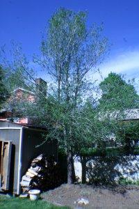 Ugly tree near retaining wall