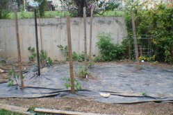 Tomatoes staked and caged