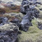 Different mosses growing from the lava rocks