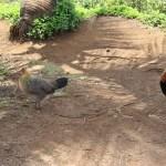 Wild chickens abound on Kauai