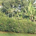 Hibiscus bushes
