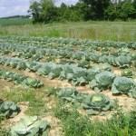 Cabbage at William's farm