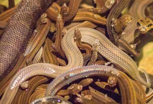 snakes in flight, live snakes in flight, germany-russia flight, World News