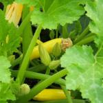 Summer squash ready for picking!