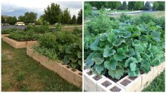 church garden,grow food,garden,vegetables