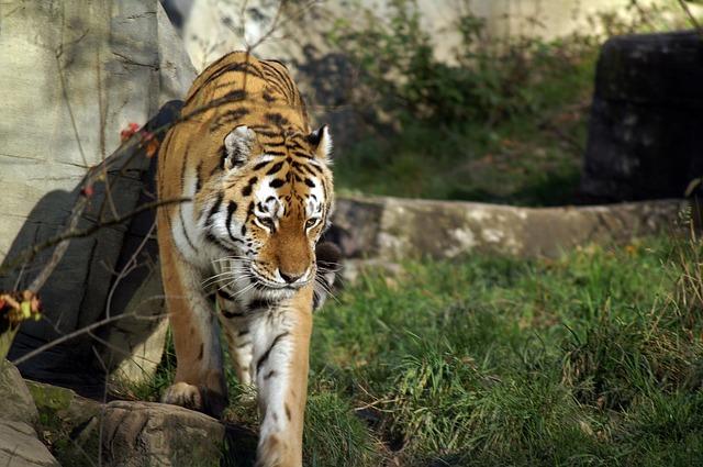 tiger-70009_640
