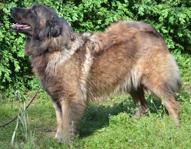 Cão Serra da Estrela - Farrusca