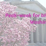 Picking peak week for blossom in Washington DC