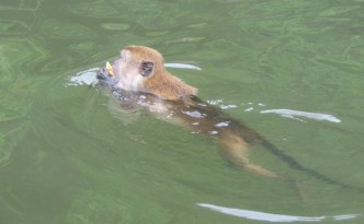 Swimming monkey, Langkawi: www.feetonforeignlands.com