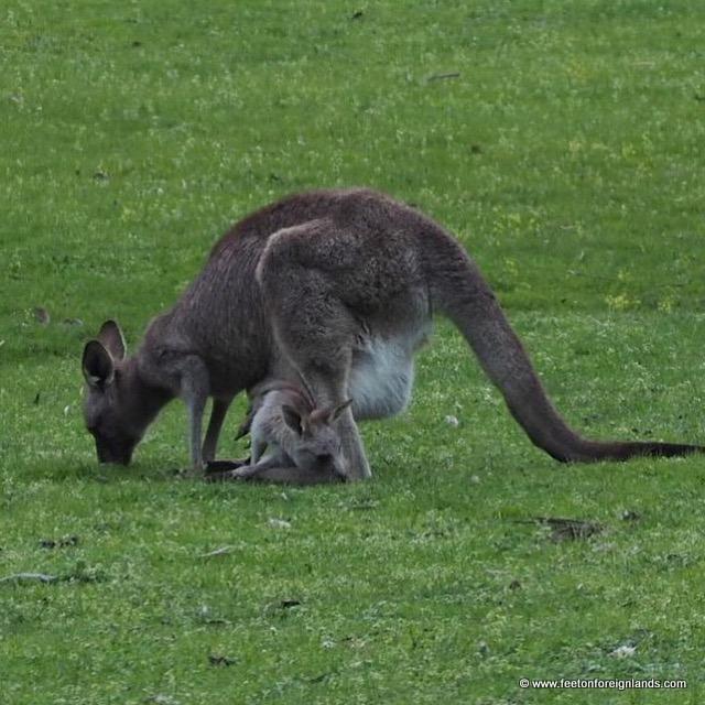 kangaroos in Melbourne: www.feetonforeignlands.com
