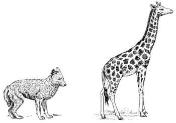 jackal vs giraffe