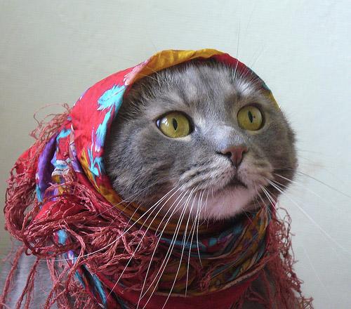 pisica tigancusa