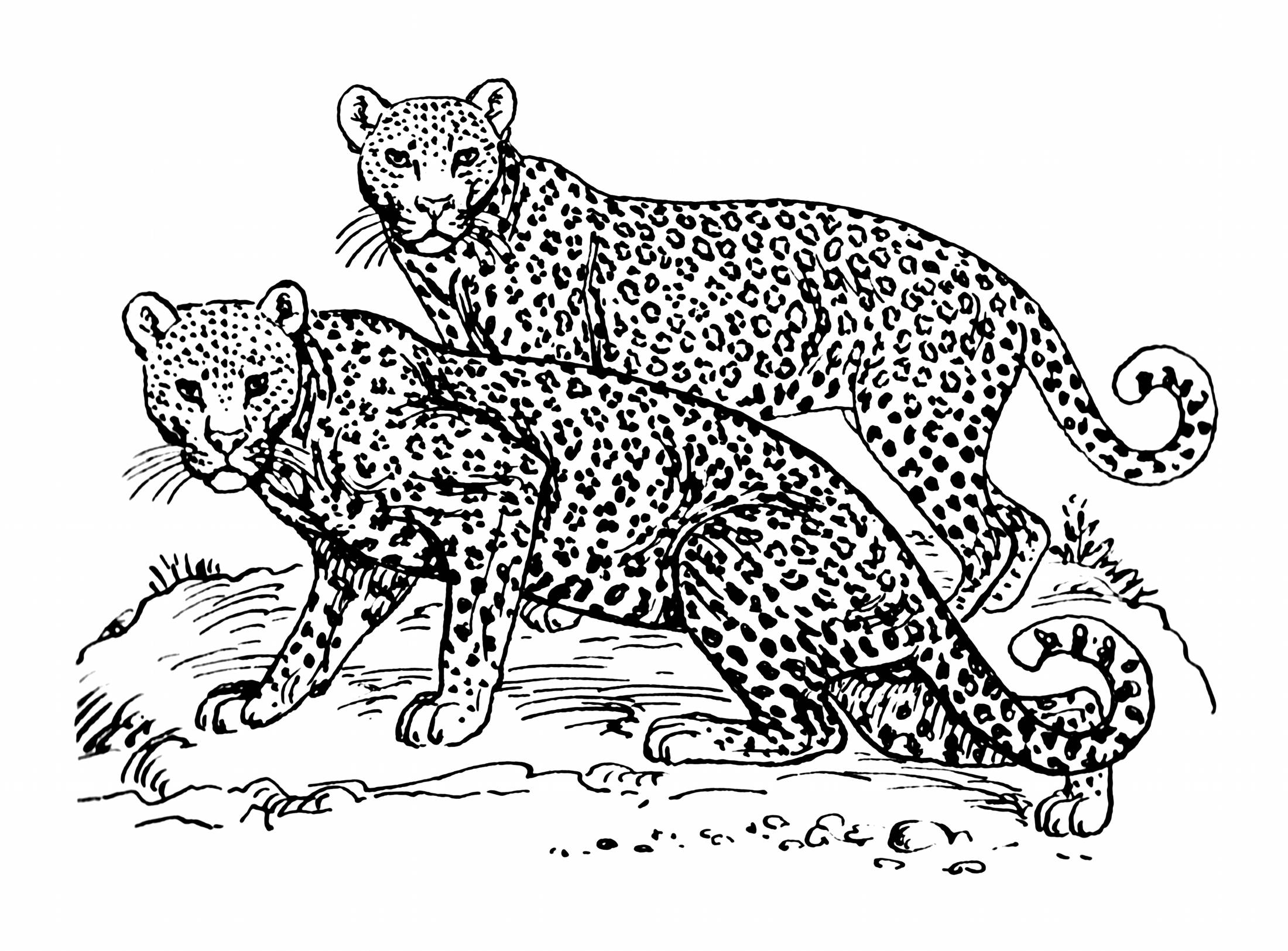 Big Cat Line Drawings