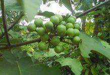 Jurubeba – Conheça seus benefícios populares
