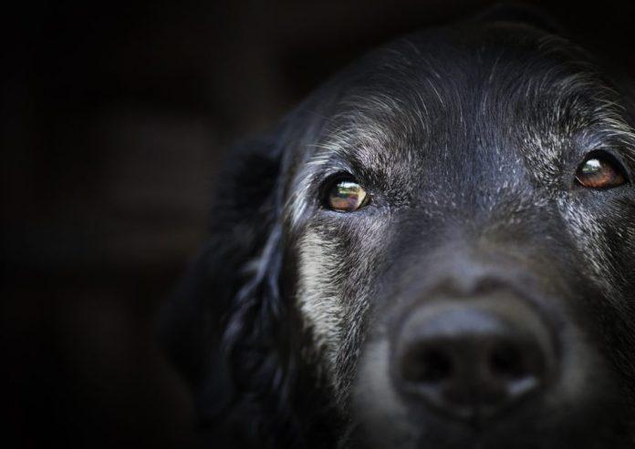 Cães Idosos – Veja os cuidados especiais