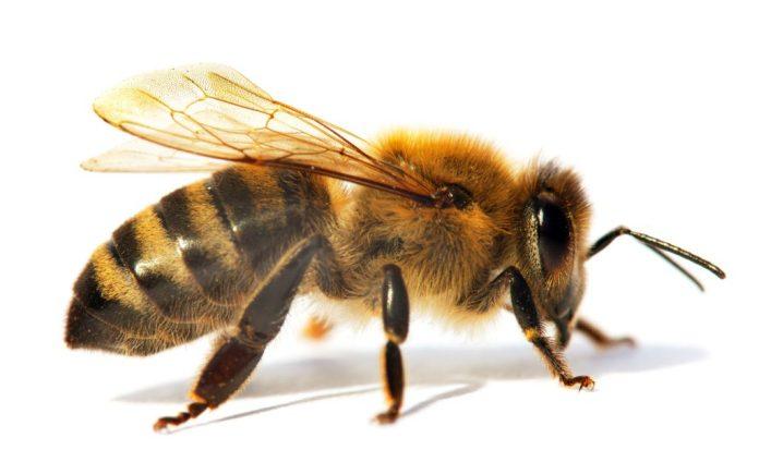 Apiterapia: Tratamento com picadas de abelha