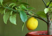 Como plantar limão na xícara para perfumar a casa