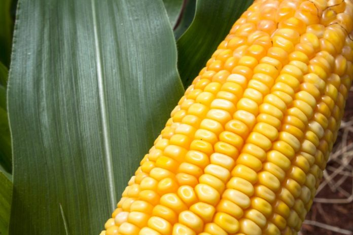 5 alimentos Transgênicos do nosso dia a dia