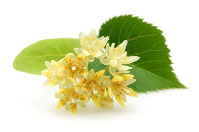 Tília - Calmante, desentoxicante e protetora do sistema imunológico