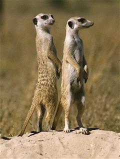 meerkats information photo facts pictures